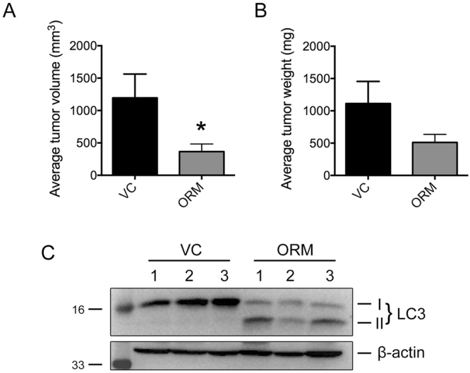 ORM administration reduces tumor progression and promotes autophagy in vivo . Reduction in both ( A ) tumor volume, and, ( B ) tumor mass was achieved when ORM (50 mg/kg body weight) was administered for 4 weeks. ( C ) LC3-II induction as a marker for autophagy activity in tumors isolated from control (VC) and ORM-treated (ORM) mice.
