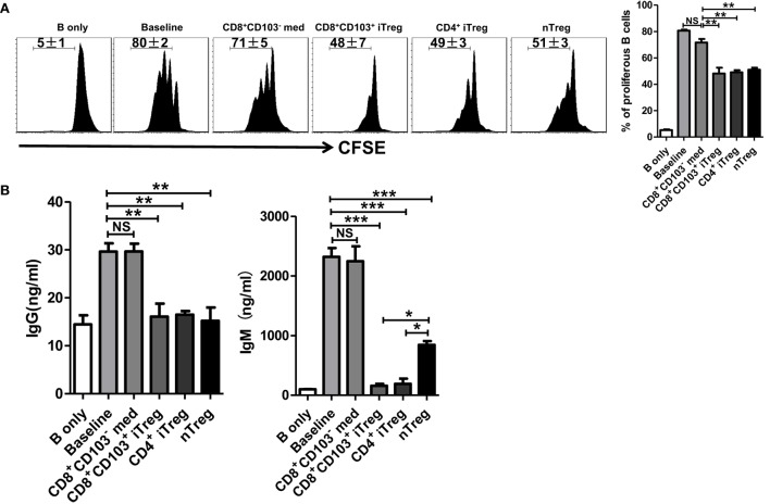 CD8 + CD103 + iTregs directly suppress B cell proliferation and the ability to secrete antibody ex vivo . (A) Fresh B cells labeled with CFSE were cultured in 96-well plates with CD8 + CD103 − med, CD8 + CD103 + iTreg, CD4 + iTreg, or nTreg cells (the ratio of T cells: B cells was 1:2) in the presence of lipopolysaccharide. B cell proliferation was determined by the CFSE dilution rates after 3 days of culture. Typical FACS histogram and summary data were shown. (B) The supernatants were collected from T cells and B cells co-culture systems after 3-day culture, and the IgG and IgM secretion was detected by ELISA. The data indicate the mean ± SEM of three independent experiments (NS means no significance, * P