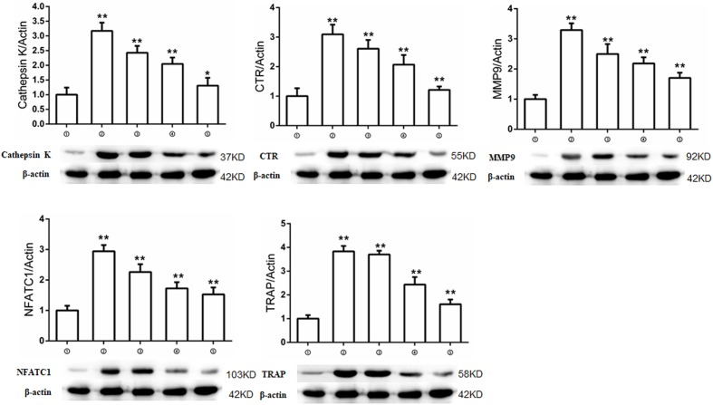 M54 inhibits expressions of osteoclastogenesis-related markers. Western blot and optical density analysis of expression of Cathepsin K, CTR, MMP-9, NFATc1, and TRAP with Beta actin as reference. ➀RAW264.7 cells; ➁RAW264.7 cells induced with M-CSF, RANKL and PBS; ➂RAW264.7 cells induced with M-CSF, RANKL and treated with 1 μM M54; ➃RAW264.7 cells induced with M-CSF, RANKL and treated with 2 μM M54; ➄RAW264.7 cells induced with M-CSF, RANKL and treated with 4 μM M54. The membranes were cut according to the molecular size of the target protein and reincubated with primary antibodies but using the same loading control ( ∗∗ P