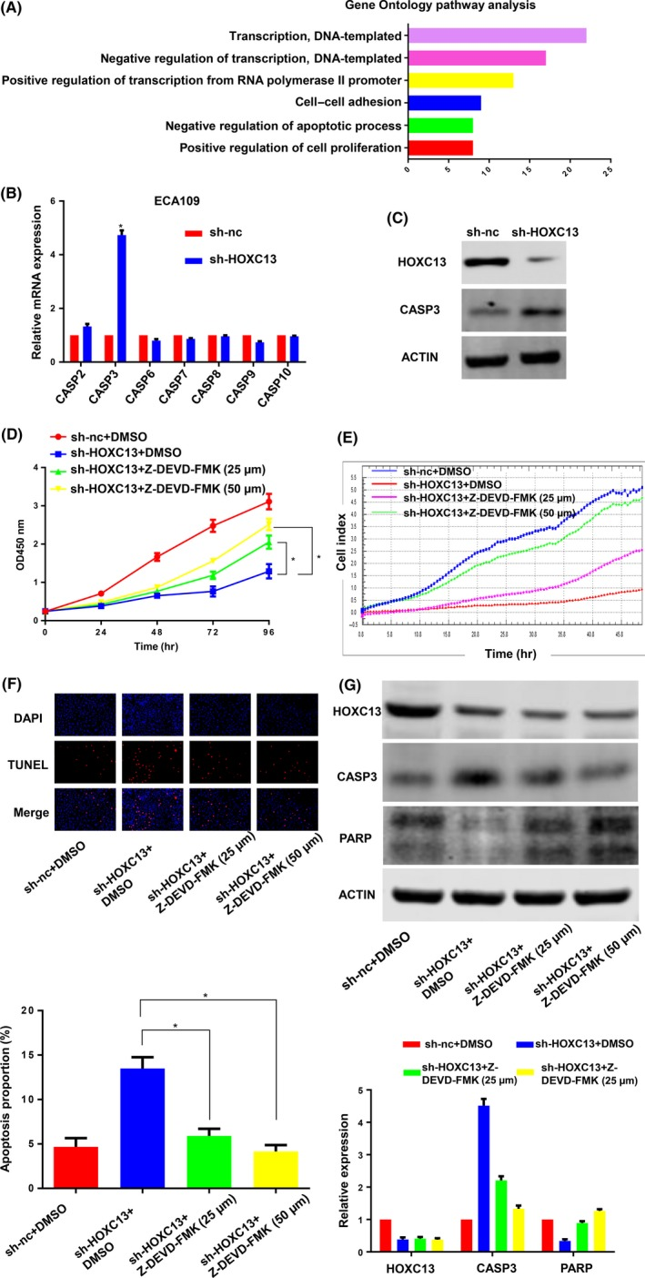 """HOXC 13 induces apoptosis of esophageal squamous cell carcinoma ( ESCC ) cells through regulating CASP 3. A, Gene ontology pathway analysis showed that genes co‐expressed with HOXC 13 were enriched in the """"transcription,"""" """"apoptotic process"""" and """"proliferation"""" pathway. B,C, Quantitative RT ‐ PCR and western blot indicated that expression of CASP 3 was significantly upregulated by knockdown of HOXC 13. D,E, Z‐ DEVD ‐ FMK , a specific <t>caspase‐3</t> inhibitor, partially reversed the inhibitory effect of sh‐ HOXC 13 on the proliferation of ECA 109 cells. F, Z‐ DEVD ‐ FMK partially reversed sh RNA ‐ HOXC 13‐induced apoptosis. G, Western blot showed that Z‐ DEVD ‐ FMK decreased the expression of CASP 3 and upregulated PARP , the enzyme digestion substrate of caspase‐3"""