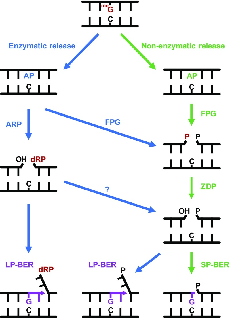 A model for repair of AP sites arising from enzymatic and nonenzymatic release of N7-meG. <t>FPG</t> incises AP sites generated by spontaneous release of N7-meG, generating a single-nucleotide gap with a 3′-P terminus that is processed by <t>ZDP</t> to generate a 3′-OH terminus. Repair is continued through SP-BER. AP sites generated by enzymatic release of N7-meG may be incised by both ARP and FPG, and repair may be continued by either SP- or LP-BER. See text for details.