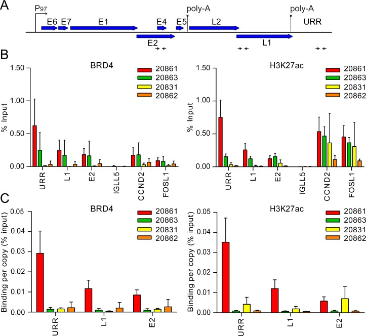 Super-enhancer markers are enriched over the viral URR in 20861, but not other integrated W12 sub-clones. Chromatin immunoprecipitation (ChIP) was performed in 20861, 20863, 20831 and 20862 cells using antibodies against Brd4 and H3K27ac. A, Map of linearized HPV16 genome showing primer positions (denoted by black horizontal arrows) for the upstream regulatory region (URR), L1 and E2. B, ChIP DNA samples were analyzed by real-time qPCR using primers against target promoters, indicated in panel A. ChIP signals were expressed as the percentage of immunoprecipitated chromatin DNA relative to the total amount of input chromatin (% Input). CCND2 and FOSL1 were included as positive controls for super-enhancer loci; IGLL5 was included as a negative control for Brd4 binding in these cells. C, To account for variations in viral copy number between W12 cells, ChIP signals were expressed as binding per single-copy genome. Background signal at each locus (measured by no-antibody controls) was subtracted from corresponding ChIP signals. Average binding levels were calculated from three independent experiments. Error bars represent SD. Note that similar experiments were previously conducted on 20861 and 20863 cells (using different datasets) [ 22 ].
