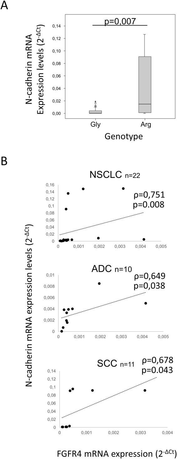 Arg388 FGFR4 mRNA expression correlates with N-cadherin mRNA expression. ( A ) N-cadherin mRNA expression levels according to Arg388 FGFR4 mRNA expression. ( B ) Bivariate correlation analysis of Arg388 FGFR4 and N-cadherin mRNA expression levels in the whole NSCLC cohort and in the ADC and SCC patient subsets. Gly = FGFR4-388Gly, Arg = FGFR4-388Arg.