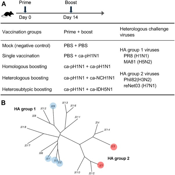 Experimental design of vaccination and challenge in mice. (A) Vaccination schedule and design of prime–boost vaccination against heterologous challenge. Four different prime–boost vaccination groups were designed using three different cold-adapted, live attenuated influenza vaccines (CAIVs), ca-pH1N1, ca-NCH1N1, and ca-IDH5N1. Prime and boost CAIVs (10 5 PFUs of each vaccine) were administered into mice via intranasal route with two weeks interval. A month later, each group was divided into four subgroups (20 subgroups in total) and challenged with 10 mouse lethal dose 50 (MLD 50 ) of each of four heterologous influenza viruses. (B) Phylogenetic tree of influenza A hemagglutinin (HA) proteins. HA to which binding affinity of vaccination-induced antibodies or protection efficacy in vivo tested in this study was highlighted in colored circles.