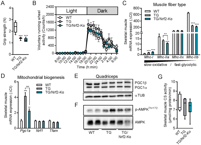 Skeletal muscle integrity and mitochondrial biogenesis in male TG/Nrf2-Ko mice. ( A ) Grip strength of 24 wks old animals (n = 8–10). ( B ) 24 h <t>voluntary</t> <t>running</t> <t>wheel</t> <t>activity</t> of 14 wks old male mice (n = 9–10). ( C ) Skeletal muscle mRNA expression in quadriceps muscle of the myosin heavy chain ( Mhc ) fiber type markers and ( D ) mitochondrial biogenesis markers of 24 wks old animals (n = 8–10). ( E ) Representative immunoblots of PGC1α/β in quadriceps muscle from 24 wks old mice from cropped blots of the same gel using αTubulin (αTUB) as loading control (2 samples shown out of 4–5 analyzed per group). ( F ) Representative immunoblots of phospho-AMPK Thr172 and total AMPK in quadriceps muscle from 24 wks old mice from different gels processed in parallel (2 samples shown out of 4–5 analyzed per group). ( G ) Skeletal muscle (gastrocnemius) citrate synthase activity of 24 wks old animals (n = 4–8). All absolute values are expressed as box-and-whisker plots, relative or normalized data are expressed as means + SEM; ** p