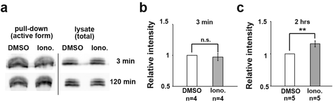 Ca 2+ signalling regulates Rac1 activity. ( a ) Rac1 activity after Ionomycin (Iono.) treatment for 3 minutes and 2 hours. DMZ explants were dissected and treated with Ionomycin. DMSO was used as a control. ( b ) Rac1 activity after Ionomycin treatment for 3 minutes. The active Rac1 intensity with Ionomycin was normalized to the intensity in DMSO-treated samples. Each western sample was prepared from 35–40 DMZ explants. Error bars indicate s.e. ± Student's t-test, ns: No significance. ( c ) Rac1 activity after Ionomycin treatment for 2 hours. Student's t-test, **P