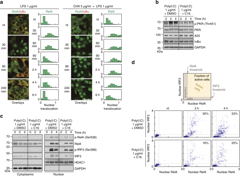 Inhibition of translation stabilises translocation of RelA and IRF3. a RelA (NF-κB) translocation and cytoplasmic IκBα levels in response to LPS or CHX + LPS. WT MEFs were stimulated with 1 μg/ml LPS in the absence or presence of 5 μg/ml CHX, fixed and stained at given time-points with antibodies for RelA and IκBα. Representative excerpt from confocal images show cells at 0 (nt), 30, 90 and 240 min after LPS stimulation. Histograms ( n ≥ 700, from a representative experiment out of 2) show the full time course of RelA nuclear translocation, defined for Fig. 2 . See Supplementary Data 3 for corresponding uncropped immunostaining images. Scale bar: 50 μm. b – d Protein levels in response to poly(I:C) upon PKR inhibition. WT MEFs were stimulated with 1 μg/ml poly(I:C) for 0 (nt), 2 and 4 h in the absence or presence of imidazolo-oxindole PKR inhibitor (1 μM/ml), C16, added at 1 h prior to poly(I:C) transfection. Culture medium for all conditions contained the C16 solvent DMSO (0.5% final concentration), and was FBS-free to prevent interference with C16. b Whole-cell extracts were analysed using antibodies against total PKR, A20 and IκBα, as well as against a phosphorylated (active) form of PKR (p-Thr451). c Nuclear and cytoplasmic fractions were analysed using antibodies against total RelA and IRF3, as well as against their phosphorylated (active) forms, p-RelA (Ser536) and p-IRF3 (Ser396). d Cells were fixed and immunostained for RelA and IRF3. Scatter plots show nuclear translocations of RelA vs. IRF3 ( n = 500) based on confocal images analysis. Percentages indicate fractions of active cells; activity was defined by responding (see also Fig. 2b ) with both RelA and IRF3 translocation, as illustrated in a mock plot at the top. See Supplementary Data 4 for corresponding uncropped immunostaining images