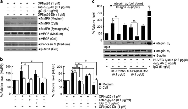Endogenous α v β 3 -integrin mediates the proangiogenic effect of 20-amino-acid OPN peptide (OPNpt20) in human umbilical vein endothelial cells (HUVECs). ( a , b ) Protein levels of matrix metallopeptidase 9 (MMP9) and vascular endothelial growth factor (VEGF) in conditioned media or HUVEC lysates were assessed by immunoblotting after treatment with OPNpt20 (1 μ M ) or OPNpt20-Db (mutant OPN peptide with both RGD and SLAY replaced; 1 μ M ) for 12 h in the presence or absence of anti-α v β 3 (0.1 μg ml −1 ) antibody or IgG (0.1 μg ml −1 ). The results are presented as the mean±s.e.m. ( n =3) ( b ). ( c ) Direct binding between endogenous integrin α v and biotinylated-OPNpt20 or biotinylated-OPNpt20-RAA was examined using a pull-down assay. HUVEC lysates (2.5 μg μl −1 ) were preincubated with anti-α v β 3 or IgG (0.5 ng μl −1 ) for 15 min and then incubated with biotinylated-OPNpt20 or biotinylated-OPNpt20-RAA for 30 min. Complexes were pulled down with streptavidin beads, and α v -integrin was measured by immunoblot using anti-α v -integrin antibody. Representative images are presented and results are presented as the mean±s.e.m. ( n =4) ( c ). * P