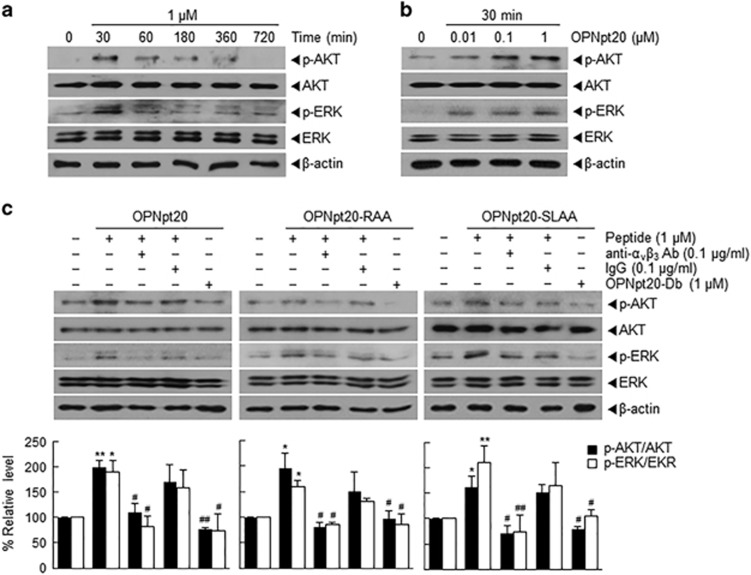 Activation of ERK and <t>AKT</t> pathways by 20-amino-acid OPN peptide (OPNpt20) in human umbilical vein endothelial cellS (HUVECs) and the role played by α v β 3 <t>-integrin.</t> ( a , b ) HUVECs were incubated with OPNpt20 (1 μ M ) for 30, 60, 180 or 360 min ( a ) or with 0.01, 0.1 or 1 μ M of OPNpt20 for 1 h ( b ), and total and phosphorylated-ERK and -AKT levels were assessed by immunoblotting. ( c ) HUVECs were incubated with OPNpt20 (1 μ M ) or its three mutant peptides for 30 min in the presence or absence of anti-α v β 3 antibody or IgG, and total and phosphorylated-ERK and -AKT levels were assessed by immunoblotting. Representative images are presented, and results are presented as the mean±s.e.m. ( n =3). * P