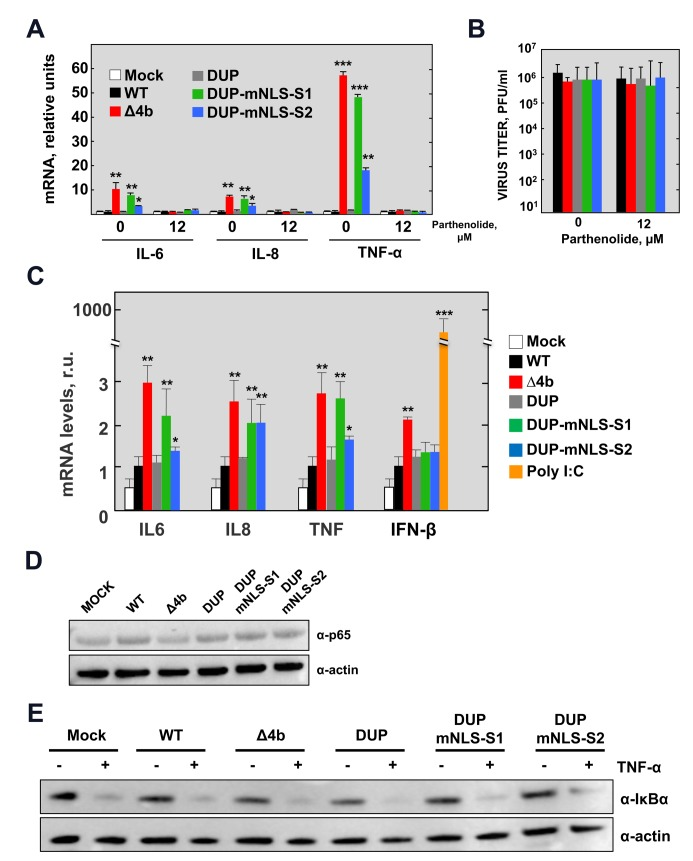 NF-κB-dependent cytokine response during infection with MERS-CoV-4b-NLS mutants (MOI = 1 PFU/cell, 24 hpi). (A) The mRNA expression levels of IL-6, IL-8 and TNF-α were quantified by RT-qPCR in Huh-7 cells either mock-treated or treated with the NF-κB inhibitor parthenolide (12 μM), as described in Fig 1 . Error bars represent SD. (B) Viral titers in the supernatant of Huh-7 cells infected with MERS-CoV-4b-NLS mutants either mock-treated or treated with parthenolide. (C) The mRNA expression levels of IL6, IL8, TNF-α and IFNB1 were quantified by RT-qPCR in Calu-3 cells infected with MERS-CoV-4b-NLS mutants as described in S1 Fig . (D) Analysis by Western-blot of NF-κB p65 levels at 24 hpi in Huh-7 cells infected with 4b-NLS mutants (MOI = 1 PFU/cell). (E) Analysis by Western-blot of TNF-α induced IκBα degradation in Huh-7 cells either mock-infected or infected with MERS.CoV-4b-NLS mutants (MOI = 1 PFU/cell). At 14 hpi, cell supernatant was replaced by fresh medium containing TNF-α (50 ng/ml). After 30 min treatment, cell lysates were prepared for immunoblotting with anti IκBα antibody. Actin was used as a loading control. Shown are means with standard deviations, which were analyzed using an unpaired t-test against the wild-type (*, p