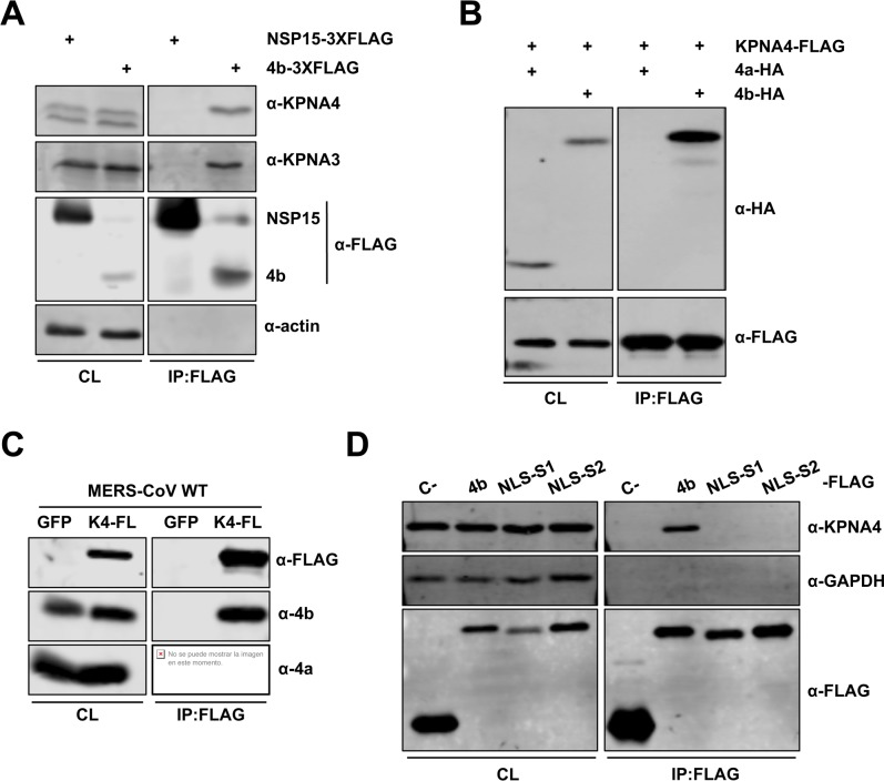 MERS-CoV 4b protein interacts with importin-α2 family karyopherins. (A-B). 4b interacts with KPNA3 and KPNA4 when expressed in isolation. Huh-7 cells were transfected with plasmids expressing NSP15-3XFLAG or 4b-3XFLAG (A) or KPNA4-FLAG and 4a-HA or 4b-HA (B). Cells were collected 48 hours later and cell lysates were immunoprecipitated with anti-FLAG monoclonal antibody. Cell lysates (CL) and eluted proteins were analyzed by immunoblotting with indicated antibodies. (C) 4b interacts with KPNA4 during infection. Huh-7 cells were transfected with plasmids expressing GFP or KPNA4-FLAG (K4-FL). 48 hours later cells were infected with MERS-CoV at an MOI of 0.1 PFU/cell. Cells were collected at 20 hpi and cell lysates were immunoprecipitated and analyzed as described above. (D) 4b requires both NLS Site 1 and Site 2 for efficient interaction with KPNA4. Huh-7 cells were transfected with plasmids expressing sMacro-3XFLAG (C-), 4b-3XFLAG (4b), or the 4b-NLS mutants 4b-mNLS-S1–3XFLAG (NLS-S1), or 4b-mNLS-S2–3XFLAG (NLS-S2). Cells were collected 48 hours later and cell lysates were immunoprecipitated and analyzed as described above. Viral protein 4a and cell proteins actin and GAPDH have been used as controls for non-specific binding to KPNA4-FLAG or to FLAG-antibody coated beads. GFP has been used as a control for 4b non-nonspecific binding to the FLAG-antibody coated beads in the absence of karyopherin protein.