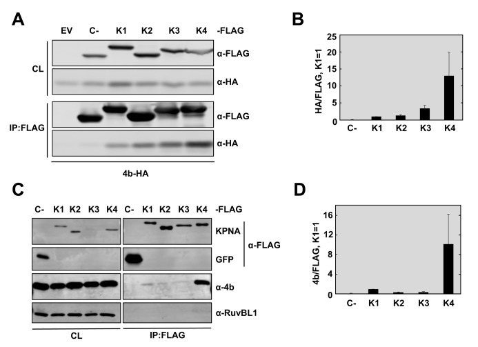 MERS-CoV 4b has higher affinity for interaction with karyopherin-α4 than other karyopherins. (A) Huh-7 cells were co-transfected with plasmids expressing 4b-HA and empty vector (EV) or Control-3XFLAG (C-) or KPNA-FLAG proteins KPNA1-FLAG (K1), KPNA2-FLAG (K2), KPNA3-FLAG (K3), or KPNA4-FLAG (K4). Cells were collected 48 hours later and cell lysates (CL) were immunoprecipitated with anti-FLAG monoclonal antibody. Cell lysates and eluted proteins were analyzed by immunoblotting with indicated antibodies. (B) Quantification of 4b-karyopherin interactions. The relative binding of 4b to each karyopherin was determined by measuring the HA signal and dividing by the FLAG signal, derived using Image Studio Software. The ratio of 4b-HA to KPNA1-FLAG was set to 1. Data represent the combined results of 2 independent experiments. Error bars represent SD. (C) Huh-7 cells were transfected with plasmids expressing GFP-3XFLAG (C-) or KPNA-FLAG proteins KPNA1-FL (K1), KPNA2-FL (K2), KPNA3-FL (K3), or KPNA4-FL (K4). 48 hours later, cells were infected with WT MERS-CoV at a MOI of 0.1 PFU/cell. Cells were collected at 20 hpi and cell lysates were immunoprecipitated with anti-FLAG monoclonal antibody and analyzed as described in (A). Cell protein RuvBL1 has been used as a control for non-specific binding to KPNA4-FLAG or to FLAG-antibody coated beads. GFP and C- have been used as controls for 4b non-nonspecific binding to the FLAG-antibody coated beads in the absence of karyopherin protein. (D) The relative binding of 4b to each karyopherin during infection was determined as described in (B). These data represent the combined results of 2 independent experiments. Error bars represent SD.