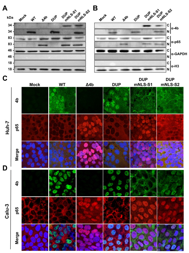 Subcellular localization of NF-κB during infection with MERS-CoV 4b-NLS mutants. Huh-7 (A) or Calu-3 (B) cells were mock-infected or infected (MOI = 0.1 PFU/cell) with WT, Δ4b or 4b-NLS mutants. At 18 hpi, cells were fractionated into cytoplasmic (C) and nuclear (N) fractions and analyzed by Western-blot for 4b and p65 detection. GAPDH and histone H3 were used as cytoplasmic and nuclear markers, respectively. Huh-7 (C) or Calu-3 (D) cells were infected with WT, Δ4b or 4b-NLS mutants (MOI 0.1 PFU/cell). At 24 hpi, cells were fixed and stained with antibodies against 4b (green) and p65 (red). Cell nuclei were stained with DAPI (blue).
