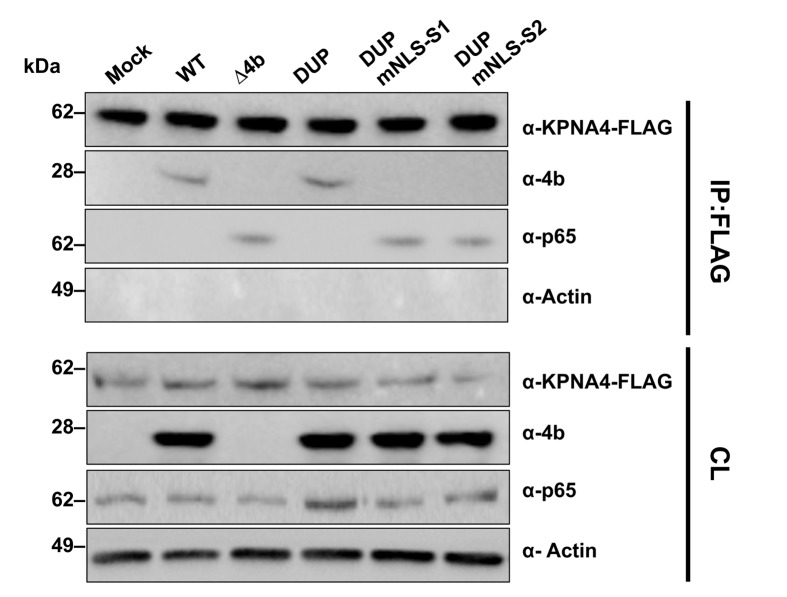 Interference of MERS-CoV 4b protein in NF-κB-karyopherin 4 binding during infection. Huh-7 cells were transfected with a plasmid encoding karyopherin 4 (KPNA4)-FLAG. At 24 hpt, cells were infected (MOI 0.1 PFU/cell) with WT, Δ4b or 4b-NLS mutants. At 20 hpi, cells lysates were immunoprecipitated with anti-FLAG antibodies. Cell lysates (CL) and eluted proteins were analyzed by immunoblotting with indicated antibodies.