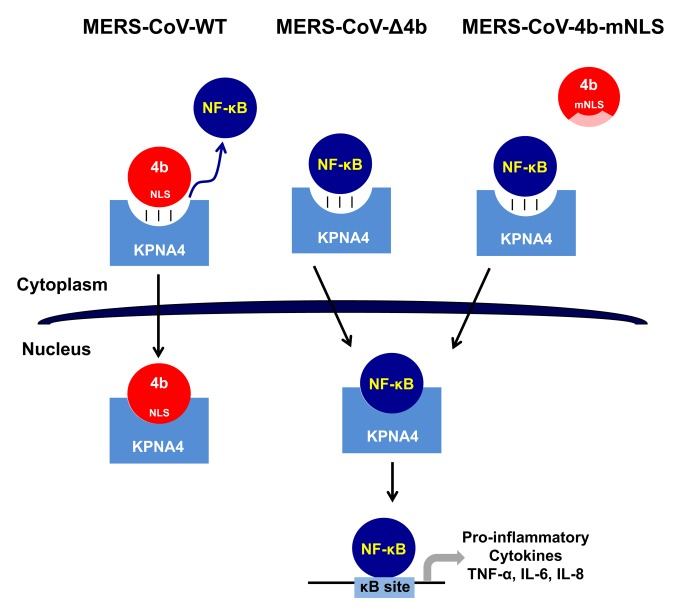 Proposed mechanism of 4b action in MERS-CoV infection. In WT MERS-CoV infection, 4b protein with an intact NLS binds KPNA4 for nuclear translocation thereby outcompeting NF-κB binding to KPNA4, which retains NF-κB in the cytoplasm and inhibits the expression of NF-κB-dependent pro-inflammatory cytokines. In contrast, in the absence of 4b (MERS-CoV-Δ4b) or in the presence of cytoplasmic 4b NLS-mutants (MERS-CoV-4b-mNLS), which do not bind KPNA4, NF-κB is imported into the nucleus by KPNA4, where it binds to DNA κB sites to promote the expression of pro-inflammatory cytokines (TNF-α, IL-6 and IL-8).