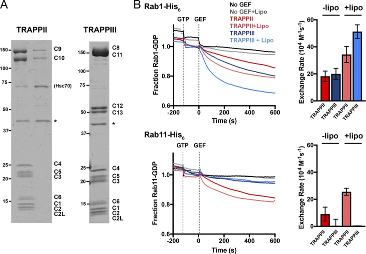 TRAPPII complex activates the Rab GTPases Rab1 and Rab11, whereas TRAPPIII only shows GEF activity toward Rab1. (A) Coomassie blue–stained protein gels of recombinant Drosophila TRAPP complexes purified from Sf9 cells coexpressing the subunits of each complex. FLAG tags on C10 or C11 allowed isolation of TRAPPII or TRAPPIII, respectively. PreScission protease (GST-HRV-3C protease) was used to cleave the tags (asterisks) and was subsequently removed using glutathione Sepharose beads. C10 also copurified with C9 in the absence of the shared subunits (TRAPPII lane). The Hsc70 chaperone (CG4264) is a contaminant of the TRAPPII purification protocol. Molecular masses are given in kilodaltons. (B) Release of mant-GDP from 250 nM of Rab-His 6 by 50 nM of TRAPPII or TRAPPIII in the presence or absence of synthetic fly Golgi mix liposomes. Traces are the mean of at least three experiments. Error bars show SEM.