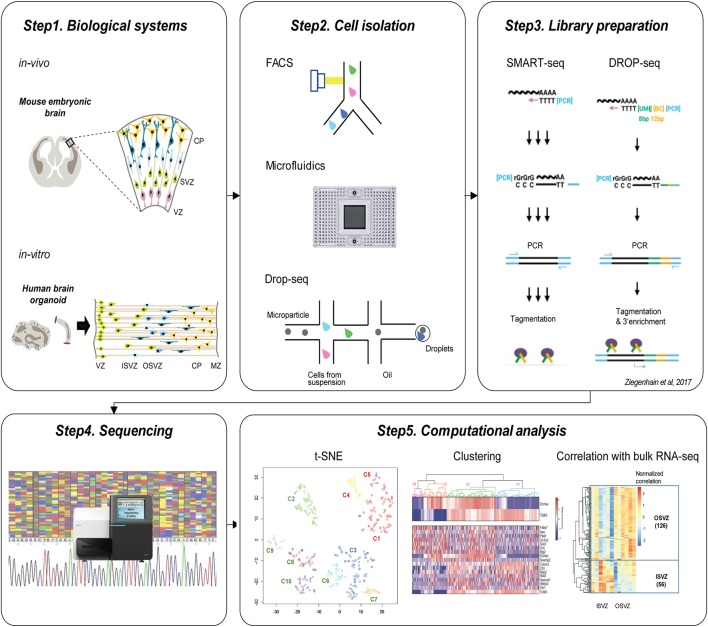Current workflow of single-cell technologies to study cortical development. Step1. Biological systems to study brain development. Upper panel shows in vivo mouse embryonic brain and below panel indicates in vitro human brain organoid which is commonly used for the single-cell neurogenesis studies. Step2. Cell isolation methods. Individual cells can be isolated using FACS, Microfluidic ChIP, or Drop-seq approaches. Step3. Library preparation. The common protocols include polyA+ mRNA capture, reverse transcription, cDNA amplification using PCR, and <t>tagmentation.</t> Step4. Sequencing of the library. Step5. Computational analysis. After the preprocessing of sequencing reads, visualization using t-SNE, unsupervised clustering, and correlation analysis with bulk RNA-seq is followed to identify subtypes of cells and characterize their identities.
