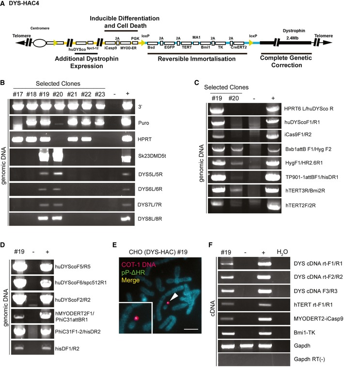 Generation of a novel, synthetic, multifunctional DYS ‐ HAC Schematic diagram of DYS‐HAC4, generated by integration of plasmids p17 (yellow line) and pP‐ΔHR (blue line) into DYS‐HAC2 (Fig 1 A) as shown also in Appendix Fig S4 . Four functional cassettes are present: (i) dystrophin locus (2.4 Mb) for complete genetic correction, (ii) hTERT and Bmi1 immortalising cassette under control of MA1 bidirectional promoter (Amendola et al , 2005 ) and floxed by loxP sites to be eliminated via Cre‐loxP recombination system. Excision of the immortalising cassette is monitored by EGFP expression, response to blasticidin (Bsd) resistance and sensitivity to ganciclovir (TK), (iii) codon‐optimised human dystrophin (huDYSco, 11.1 kb) under control of the Spc5‐12 promoter to increase dystrophin expression, (iv) inducible Caspase 9 (iCas9) and human MYOD‐ERT2 under a PGK promoter for controllable cell death and myogenic differentiation, respectively. PCR analyses of selected CHO(DYS‐HAC4) clones confirming the presence of DNA sequences derived from DYS‐HAC2 (DYS‐HAC backbone detected with 3′, Puro and Sk23/DMD5t primers, Cre‐lox71/loxJTZ17 recombination detected with HPRT primers, genomic dystrophin sequence detected using DYS5L/5R, DYS6L/6R DYS7L/7R and DYS8L/8R primers). PCR analyses of CHO(DYS‐HAC4) clones #19 and #20 showing the presence of all relevant novel sequences confirming insertion of plasmid p17 and pP‐ΔHR. FISH analysis of CHO(DYS‐HAC4) clone #19 showing episomal presence of DYS‐HAC4 in single copy (red: rhodamine‐human COT‐1 DNA; green: FITC‐Plasmid pP‐ΔHR containing the immortalising cassette. Scale bar: 5 μm. RT–PCR analysis showing expression of huDYSco, immortalising cassette (hTERT and Bmi1), MYOD‐ERT2 and iCaspase 9 in CHO(DYS‐HAC4) clone #19. For all PCRs, CHO‐K1 cells were used as negative control and CHO(DYS‐HAC4) parental population as positive control. Source data are available online for this figure.
