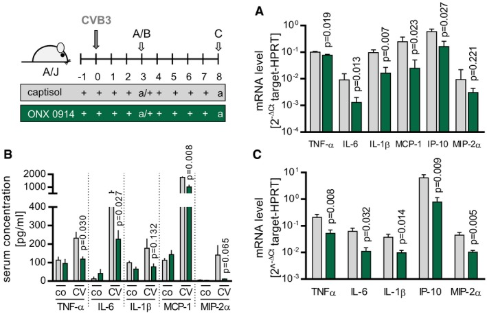 ONX 0914‐mediated suppression of CVB 3‐induced pro‐inflammatory cytokines/chemokines in A/J mice A/J mice were infected with CVB3. ONX 0914 or vehicle treatment was carried out daily, starting one day prior to virus inoculation. Animals were sacrificed after 3‐day (A, B) and 8‐day p.i. (C). Total spleen mRNA (A) was used to determine cytokine/chemokine‐specific expression of the indicated genes by TaqMan qPCR. Means of 2 −Δ C t + SEM are shown (vehicle n = 7, ONX n = 9, t ‐tests). Serum concentration of the indicated cytokines/chemokines (B) was assessed using bead‐based multiplex immunoassay or ELISA, respectively. Depicted are means + SEM (four separate experiments were carried out; vehicle n = 3–7, ONX n = 3–7, t ‐tests). During the peak of heart muscle inflammation, total heart mRNA (C) was used to determine cytokine/chemokine‐specific expression of the indicated genes by TaqMan qPCR. Means of 2 −Δ C t + SEM are shown (E1 + E2; vehicle n = 4, ONX n = 12, t ‐tests). P ‐values are indicated in each graph.