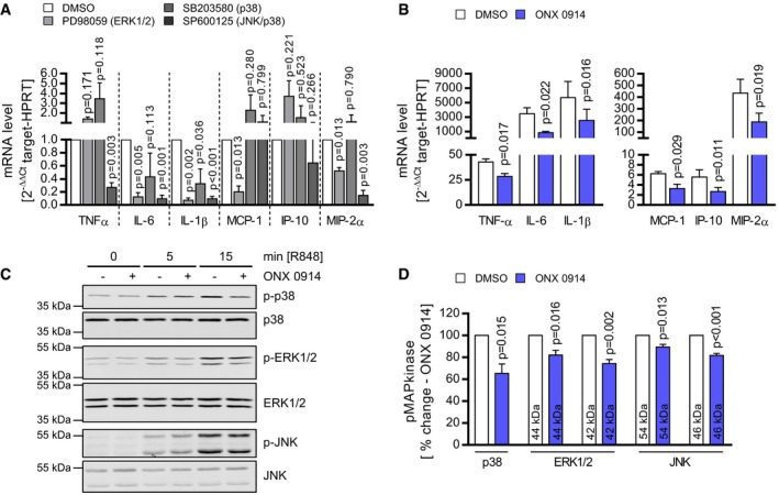 ONX 0914 manipulates TLR 7 signaling leading to reduced MAPk inase phosphorylation Bone marrow‐derived macrophages (BMM) from A/J mice were cultivated. Mitogen‐activated protein kinase (MAPkinase) inhibitors were used to investigate the contribution of p38‐, ERK1/2‐, and JNK‐mediated signaling to cytokine/chemokine expression upon TLR7 engagement. Therefore, BMM were treated with the MAPkinase inhibitors SB203580 (p38), PD98059 (ERK1/2), SP600125 (JNK), or DMSO (control), respectively, for one hour prior to R848 stimulation. After 8 h, mRNA levels of the indicated genes were determined by TaqMan qPCR. Data represent fold change increased mRNA expression (ΔΔ C t normalized to stimulated DMSO control) and are mean of three independent experiments. Paired t ‐tests (inhibitor versus DMSO) were performed. BMM from A/J mice were treated with ONX 0914 or DMSO prior to stimulation with the TLR7 agonist R848. After 8 h, cytokine and chemokine expression was determined for the indicated genes by TaqMan qPCR. Data represent fold change increased mRNA expression (normalized to un‐stimulated DMSO control) and are mean of four independent experiments. Paired t ‐tests were performed. BMM from A/J mice were treated with ONX 0914 or DMSO prior to stimulation with R848 for the indicated points in time. Cytosolic protein extracts were subjected to Western blot analysis for detection of the phosphorylation status of p38 (Thr180/Tyr182), ERK1/2 (Thr202/Tyr204) and JNK (Thr183/Tyr185) (C). Antibodies directed against the respective total MAPkinases were used as respective loading control. The most intense phosphorylation status for all MAPkinases was observed after 15‐min TLR7 engagement. Signal intensity at this point in time was determined for DMSO‐ and ONX 0914‐treated cells (D), and signals of phosphorylated kinases were normalized to the respective non‐phosphorylated protein. For three independent experiments, thereby obtained data of ONX 0914‐treated cells were normalized to respec