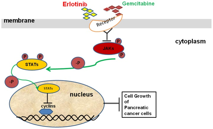 Schematic representation indicates that gemcitabine-erlotinib combination inhibits recurrent pancreatic tumor growth via JAK/STAT signaling. The gemcitabine-erlotinib combination significantly suppressed the phosphorylation levels of JAK1, JAK2, JAK3 as well as downstream STAT3 and STAT1 and eventually inhibited the growth of recurrent pancreatic tumors.