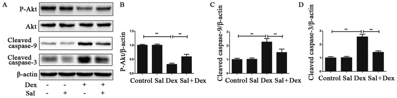 Sal alleviates Dex-induced osteoblasts apoptosis via activating PI3K/Akt-mediated downregulation of caspase-3 expression. (A) The protein expression of Akt, p-Akt, cleaved caspase-9 and cleaved caspase-3 in osteoblasts was determined by western blot analysis. The results of the western blot were quantified and the protein expression of (B) p-Akt, (C) cleaved caspase-3 and (D) cleaved caspase-9 were determined. Data represent the average ± SD. Significant differences between two are indicated as **P