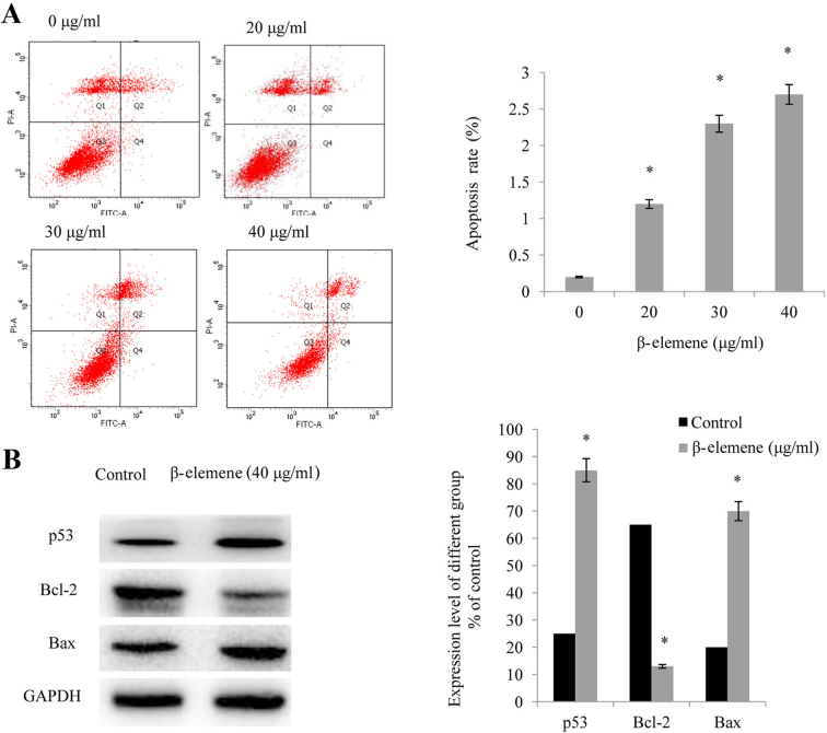 β-elemene induces apoptosis in SiHa cells. (A) Following treatment of SiHa cells with increasing doses of β-elemene (0, 20, 30, and 40 µg/ml) for 48 h, flow cytometry was performed in order to detect cellular apoptosis; *P