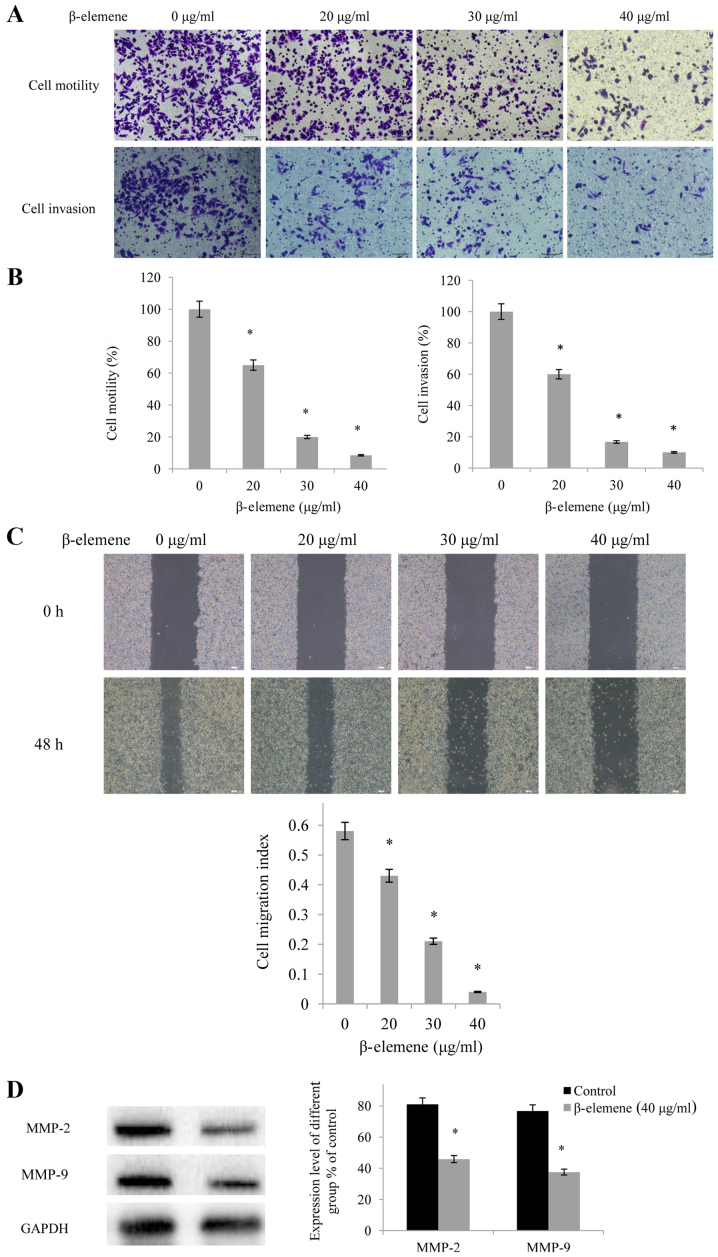<t>β-elemene</t> inhibits the invasion and migration of SiHa cells. (A) Following treatmentof SiHa cells with increasing doses of β-elemene (0, 20, 30 and 40 µg/ml) for 24 and 72 h time intervals, motility and invasion assayswere performed (magnification, ×100). (B) Statistical analysis demonstrating the quantification of the number of invaded SiHa cellsfrom the motility and invasion assays; *P