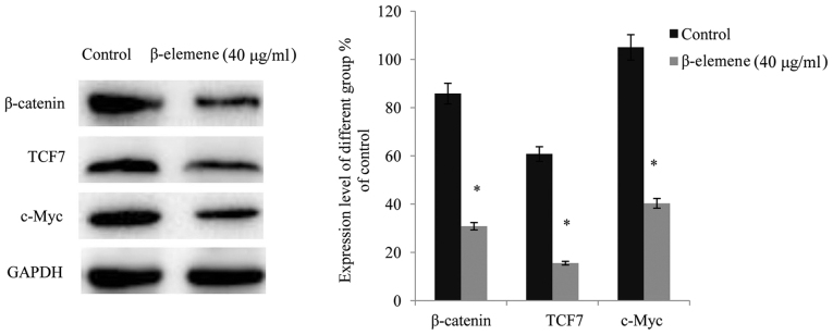 β-elemene suppresses the Wnt/β-catenin signaling pathway. Expression levels of β-catenin, TCF7, and c-Myc were detected via western blot analysis. Each experiment was performed in triplicate. Values presented represent the mean ± standard deviation of three independent experiments. *P