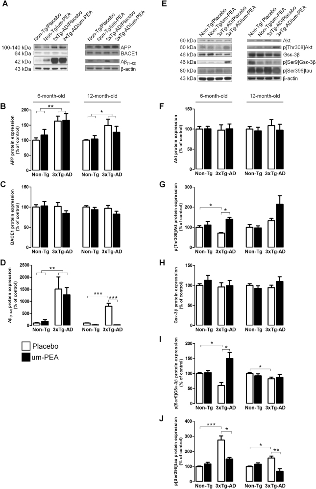 Um-PEA effects on AD pathology. Evaluation of protein expression in hippocampi of 6- and 12-month-old 3×Tg-AD and age-matched Non-Tg mice chronically treated with placebo (open bars) or um-PEA (black bars). ( a ) Representative western blots for APP, BACE1, and Aβ (1–42) proteins and ( b–d ) densitometric analyses normalized to β-actin used as loading controls ( N = 3, in triplicate). ( e ) Representative western blots for Akt, p[Thr308]Akt, Gsκ-3β, p[Ser9]Gsκ-3β, p[Ser396]tau, and ( f–j ) densitometric analysis normalized to β-actin used as loading control ( N = 3, in triplicate). The results are expressed as percentage of control (Non-Tg/placebo groups). The data are presented as means ± SEM. Statistical analysis was performed by two-way ANOVA followed by Bonferroni's multiple-comparison test (* p
