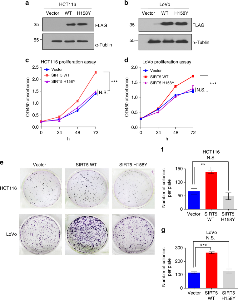 SIRT5 promotes colorectal cancer cell growth dependent on its catalytic activity. a , b Western blotting confirming the stable expression of the control vector, FLAG-SIRT5 WT, or FLAG-SIRT5 H158Y in HCT116 ( a ) and LoVo ( b ) cells. c , d Growth curve of HCT116 ( c ) and LoVo ( d ) cells stably expressing the control vector (blue line), SIRT5 WT (red line), or SIRT5 H158Y (purple line). Data are the mean ± SD of five independent samples. ANOVA with Tukey's test. *** P