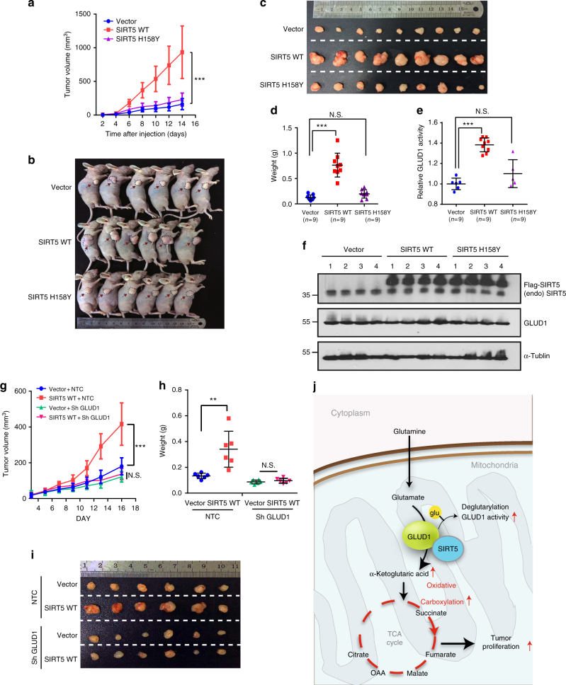 Oncogenic role of SIRT5 and GLUD1 is vital for the tumorigenesis capacity of SIRT5 in vivo. a HCT116 cells stably expressing the control vector, SIRT5 WT, or SIRT5 H158Y were injected subcutaneously into nude mice ( n = 9 for each group). Tumor volumes were measured at the indicated time points and the mean tumor volumes were calculated. Data are presented as the mean ± SD. b – d At the end of experiment, tumors from three groups were dissected, photographed ( b , c ), and weighed ( d ). Data are presented as the mean ± SD. e , f GLUD1 enzyme activities in tumor lysates derived from xenografts were measured ( e ). Data are presented as the mean ± SD. GLUD1 protein level and the overexpression of SIRT5 in the xenografts were confirmed by immunoblotting ( f ). g – i SIRT5-overexpressing LoVo cells infected with viruses expressing non-target control (NTC) short hairpin RNA (shRNA) or GLUD1 shRNA were injected subcutaneously into nude mice ( n = 6 for each group). Tumor growth curves were constructed ( g ). Statistical analysis of tumor weight. Each dot represents the tumor mass from one mouse ( h ). Digital photograph of the dissected tumors ( i ). Data are presented as the mean ± SD. All P values were calculated by ANOVA with Tukey's test. ** P