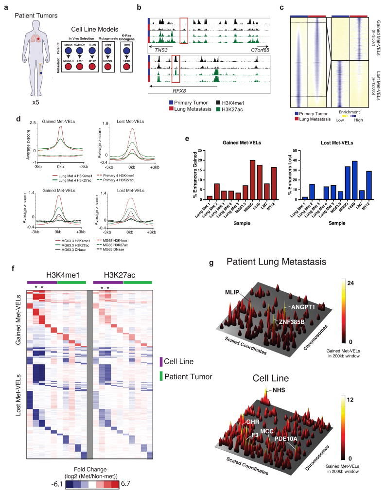 H3K4me1 ChIP-seq identifies metastatic variant enhancer loci (Met-VELs) and Met-VEL clusters a , Schematic representation of human tumor and metastatic human osteosarcoma cell line cohort. b , UCSC browser views of H3K4me1 profiles from MG63.3 (metastatic) and MG63 (parental) cell lines illustrating an example of gained (top) and lost (bottom) Met-VEL(s). Met-VELs are boxed in red. c , Heatmap showing H3K4me1 ChIP-seq signal +/−5kb from H3K4me1 peak midpoints for all putative enhancers in MG63.3/MG63 pair sorted by differences in signal. Sub-panel shows heatmap for gained and lost Met-VELs alone. d , Aggregate plots showing H3K4me1 ChIP-seq and H3K27ac ChIP-seq signal +/− 3kb from mid-points of gained (left) and lost (right) Met-VELs for a representative matched primary/lung metastatic human tumor pair (top) and MG63.3/MG63 cell line pair (bottom). DNase-seq signal +/− 3kb from Met-VEL mid-points is also shown for the MG63.3 and MG63 cell lines. e. Percentage of enhancers gained and lost in metastatic samples relative to primary tumors or non-metastatic cell lines. f. Heatmap of fold change normalized RPKM in metastatic samples vs. primary tumor or non-metastatic cell lines for aggregated list of all gained and lost Met-VELs across all samples. H3K4me1 signal shown on the left, H3K27ac signal shown on the right. The samples from left to right are as follows M112, 143B, MNNG, MG63.3, LM7, Lung Met 1, Lung Met 2, Lung Met 3, Lung Met 4, Lung Met 5. Asterisks indicate 143B and MNNG samples. g. Genome-wide gained Met-VEL landscape for human osteosarcoma metastatic tumor (Lung Met 4) and MG63.3 cell line. Rows represent scaled chromosomal coordinates. Peaks represent maximum gained Met-VEL counts in 200kb sliding windows. Predicted target genes for selected peaks are labeled.