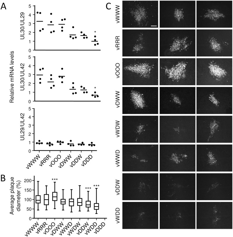Characterization of recoded MDV UL30 mutants. (A) Effect of recoding on UL30 expression from the virus background. CEC were transfected with the parental or mutant BAC clones that carried differently recoded UL30 genes. 24 h post transfection RNA levels of UL29, UL30 and UL42 genes were quantified by qPCR. P-values were calculated using Kruskal-Wallis H test, * indicates P