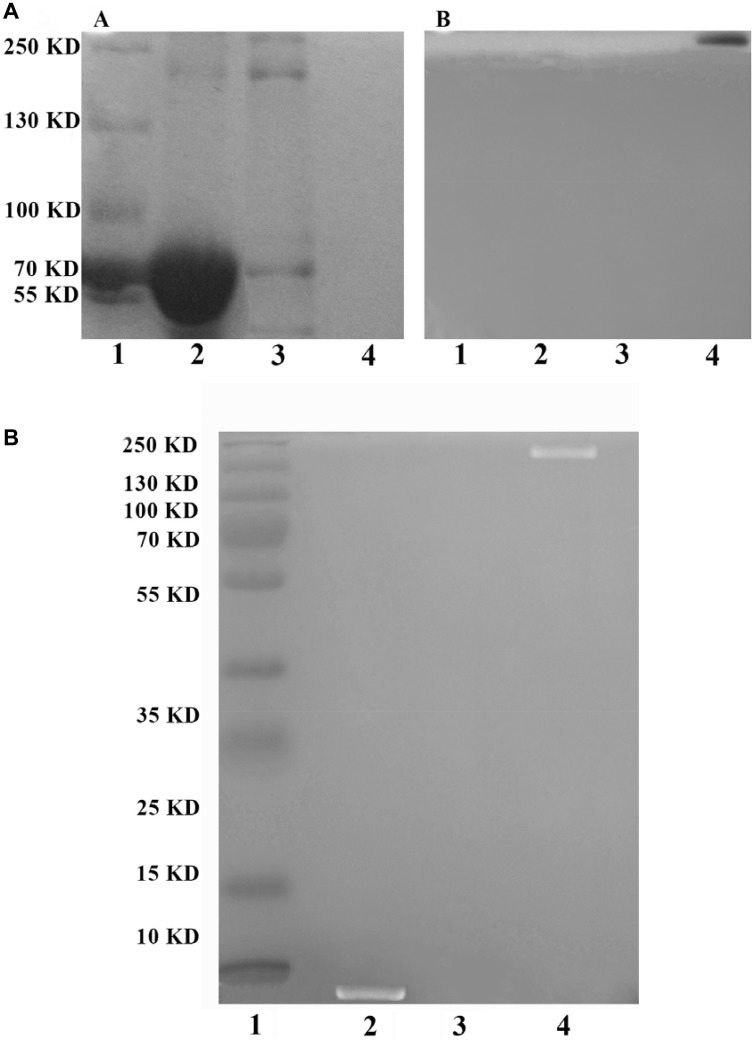 Detection of PEG-Ad5-PTEN by SDS-PAGE ( A ) and EPAP by TBE-PAGE ( B ). In Figure 3A , (A) It was stained by Coomassie Brilliant Blue; (B) It was stained by 0.1 mol/L iodine solution. Lane 1, marker; Lane 2, positive control protein of BSA; Lane 3, unmodified Ad5; Lane 4, PEG-Ad5-PTEN. In Figure 3B , it was stained by <t>ethidium</t> bromide. Lane 1, marker; Lane 2, EpDT3; Lane 3, PEG-Ad5-PTEN; Lane d 4, EPAP.