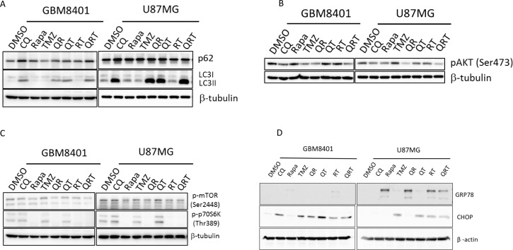 Autophagy, ER stress, and p-AKT change after CQ (Q), Rapa (R) and TMZ (T) in different combination treatment GBM8401 cells and U87MG cells were treated with CQ, Rapa and TMZ in different combinations, harvested at 24 hours and immunoblotted for LC3-I, LC3-II and ( A ) p62, ( B ) p-AKT, ( C ) p-mTOR and p-S6K, ( D ) GRP78 and CHOP.