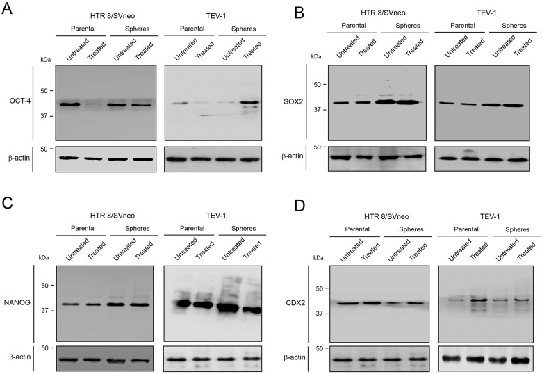 OCT-4, SOX2 and NANOG expression in untreated and treated transformed parental trophoblast cells and spheroids (A) (B) (C) (D) Immunoblots showing the expression of OCT-4, SOX2, NANOG, CDX2 and corresponding β-actin loading controls in HTR8/SVneo and TEV-1 untreated and treated transformed parental trophoblast cells and spheroids.