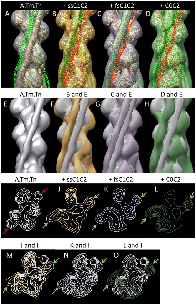 3D reconstruction of thin filaments demonstrates <t>MyBP-C</t> N-termini shift of tropomyosin in the absence of Ca 2+ . ( A ) Reconstruction of reconstituted thin filament (F-actin, tropomyosin, troponin). Actin atomic structure (yellow ribbon) has been fitted into the reconstruction (grey envelope). Red and green helices represent Tm in the known blocked and closed positions on the thin filament, respectively. In this control filament, at low Ca 2+ , Tm occupies the blocked position (grey cylinder enclosing red Tm helix). Tn is averaged out as it does not follow the helical symmetry of actin used to carry out the reconstructions. The addition of ( B ) ssC1C2, ( C ) fsC1C2, and ( D ) C0C2 causes a shift in Tm azimuth towards the closed position, with C0C2 causing the largest shift and fsC1C2 the smallest. These variable shifts are further revealed when each decorated reconstruction is superimposed on the actin:tropomyosin:troponin control, both in surface view ( E – H ) and in cross-sectional views of the reconstructions ( I – O ) ( cf . ref. 14 ). Actin subdomains 1–4 are marked in I . Red arrows indicate Tm in blocked position in low Ca 2+ control filament; green arrows show shifted position of Tm in low Ca 2+ decorated filaments.
