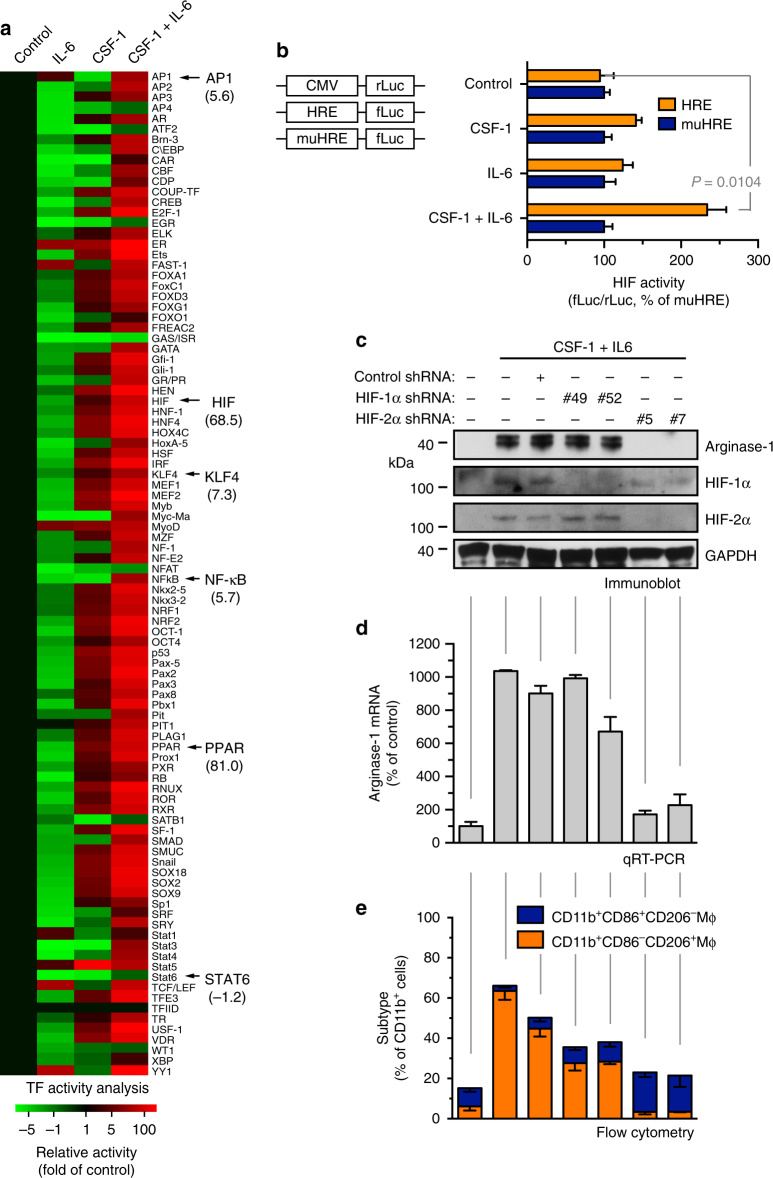 HIF-2α is critical for IL-6-mediated arginase-1 expression and alternative macrophage activation. a Mouse BM-derived macrophages were treated with CSF-1 and IL-6 for 3 days. Nuclei proteins were subjected to multiplex profiling analysis for transcriptional factor activation. Activity was normalized with transcription factor IID, and expressed as the folds of control. b Mouse BM-derived macrophages were transduced with lentivirus that expresses CMV promoter-driven renilla luciferase (CMV-rLuc), hypoxia response element-driven firefly luciferase (HRE-fLuc), and mutated HRE-fLuc (muHRE-fLuc), followed by treatment with CSF-1 and IL-6 for 2 days. Reporter activity radio of fLuc versus rLuc was determined by bioluminescence. Results were expressed as the percentage of muHRE ( n = 3, mean ± SEM). P value was determined by Student's t test. c – e Mouse BM-derived macrophages were transduced with lentivirus that expresses shRNAs targeting control scrambled sequence, HIF-1α (#49 and #52) and HIF-2α (#5 and #7), followed by treatment with CSF-1 and IL-6 for 10 days. c Cells were lysed and subjected to immunoblot analysis. d Arginase-1 mRNA was analyzed by real-time RT-PCR. Shown are quantified data (normalized with GAPDH expression, n = 3, mean ± SEM). e Cells were stained with anti-CD11b, anti-CD86, and anti-CD206 antibodies, followed by flow cytometry analysis ( n = 3, mean ± SEM)