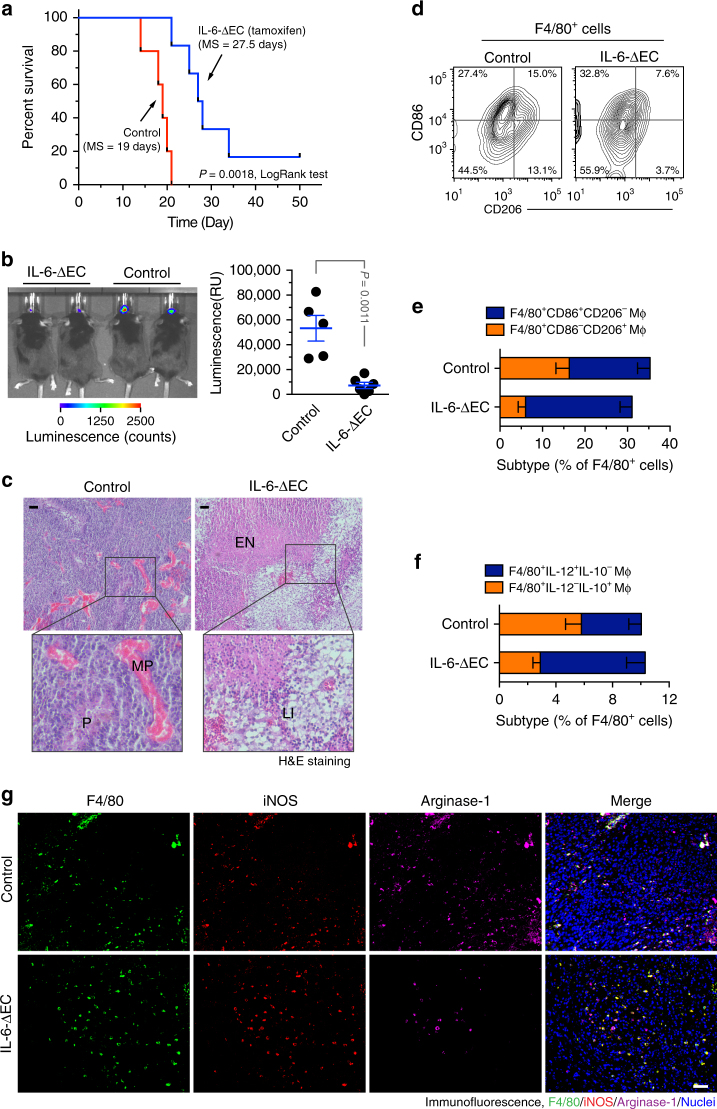 Endothelial IL-6 is critical for macrophage alternative activation and GBM growth and progression. The genetically engineered GBM model was induced in Ntv-a ; Ink4a-Arf −/− ; Pten −/− ; LSL-Luc donor mice, followed by orthotopic tumor implantation into Cdh5 - Cre ERT2 ; Il6 fl/fl mice that were treated with (IL-6-ΔEC) or without (Control) tamoxifen. a Animal survival was monitored for 50 days post-injection ( n = 5–6 mice, one representative result from three independent experiments). P values were determined by log-rank (Mantel–Cox) tests. MS, median survival. b Tumor growth was analyzed by bioluminescence. Left, representative images. Right, quantitative analysis of integrated luminescence in tumors at day 12 (mean ± SEM, n = 5–6, one representative result from three independent experiments). P value was determined by Student's t test. c Tumor sections were stained with hematoxylin and eosin (H E). Representative images are shown ( n = 10 mice). P pseudopalisades, MP microvascular proliferation, EN extensive necrosis, LI leukocyte infiltration. Bar represents 100 μm. Zoom-in factor: 3. e , f Tumors were excised. Single-cell suspensions were prepared and subjected to flow cytometry analysis. d , e Single-cell suspensions were probed with anti-F4/80, anti-CD86, and anti-CD206 antibodies. CD206 and CD86 expression were analyzed in sorted F4/80 + cells. d Representative sorting. e Quantified results (mean ± SEM, n = 10–14 mice). f Single-cell suspensions were probed with anti-F4/80, anti-IL-10, and anti-IL-12 antibodies. IL-10 and IL-12 expression was analyzed in sorted F4/80 + cells. Show are quantified results (mean ± SEM, n = 8–13 mice). g Tumor sections were stained and analyzed by immunofluorescence. Tumor sections were probed with anti-iNOS, anti-arginase-1, anti-F4/80 antibodies ( n = 10 mice). Bar represents 100 μm