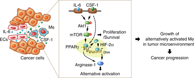 A schematic model. In glioma microenvironment, endothelial cell-derived IL-6 and microenvironmental CSF-1 synergistically activate downstream Akt1/mTOR pathway and induces transcriptional activation of PPARγ in macrophages (Mϕ), in turn leading to HIF-2α-mediated arginase-1 expression, and inducing macrophage alternative polarization. The activation of mTOR also induces cell proliferation, contributing to cell survival and growth of alternatively activated macrophages, eventually leading to glioma progression