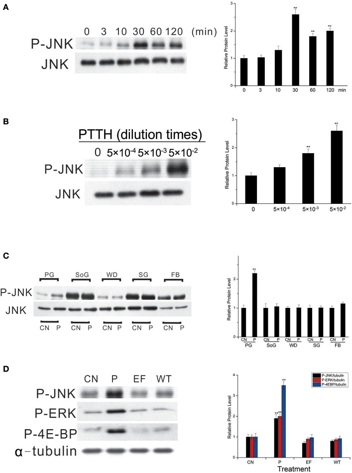 Time- (A) and dose- (B) dependent effects of JNK phosphorylation by the PTTH, tissue specificity of PTTH-stimulated JNK phosphorylation (C) , and the effect of treatment with extracellular fluid from cells only or cells infected with the wild-type (WT) AcMNPV on protein phosphorylation (D) . (A,B) Time- and dose-dependent effects. PGs were either treated with PTTH for the indicated time points (A) , treated with the indicated concentrations of PTTH, or incubated with control medium (0) for 60 min (B) . (C) Tissue specificity. PGs, subesophageal ganglia (SoG), wing disks (WD), salivary glands (SG), and fat body (FB) from day 6-last instar larvae were incubated with control medium (CN) or medium containing the PTTH (P) for 60 min. (D) Effect of treatment with either control medium (CN), the PTTH (P), extracellular fluid from cells only (EF), or cells infected with WT AcMNPV (WT) on the phosphorylation of JNK, ERK, and 4E-BP. Each lysate was prepared and subjected to an immunoblot analysis with anti-phospho-JNK (P-JNK), anti-phospho-ERK (P-ERK), anti-phospho-4E-BP (P-4E-BP), anti-JNK (JNK), and anti-α-tubulin (α-tubulin) antibodies. Results shown in the left panels are representative of three independent experiments. Data are expressed as multiples of change over the respective control after being normalized to the level of JNK (for A–C ) or α-tubulin (for D ). Asterisks indicate a significant difference compared to the respective control (by Student's t -test, ** p