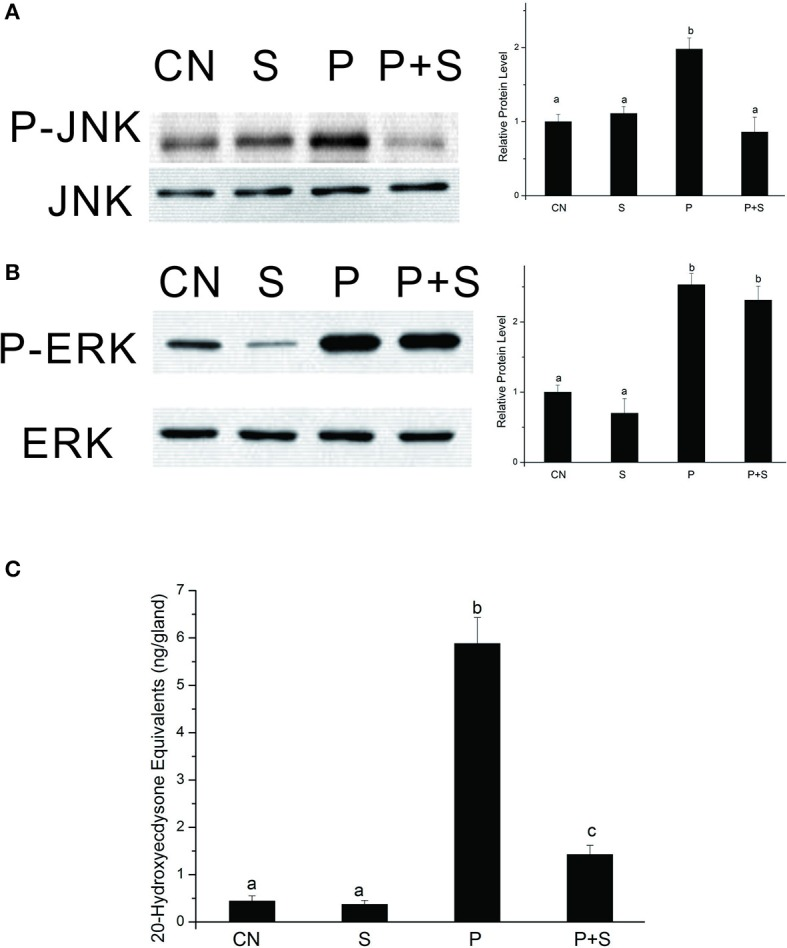 Effects of SP600125 on PTTH-stimulated phosphorylation of JNK (A) and ERK (B) and ecdysteroid secretion (C) . PGs were pretreated with 20 μM SP600125 or vehicle alone for 30 min, and then transferred to medium containing the same dose of SP600125, with or without the PTTH. Incubation was maintained for 60 min. Gland lysates were prepared and subjected to an immunoblot analysis with anti-phospho-JNK (P-JNK), anti-JNK (JNK), anti-phospho-ERK (P-ERK), and anti-ERK (ERK) antibodies. CN, glands incubated in control medium; S, glands incubated in medium containing 20 μM SP600125 only; P, glands incubated in medium containing the PTTH only; P+S, glands incubated in medium containing both the PTTH and 20 μM SP600125. Results shown in the left panels (for A,B ) are representative of three independent experiments. Data are expressed as multiples of change over the respective control after being normalized to the level of JNK (for A ) or ERK (for B ). Ecdysteroid released into the medium was determined by an RIA. Different letters above the bars indicate a significant difference (ANOVA followed by Tukey's multiple-comparisons test, p