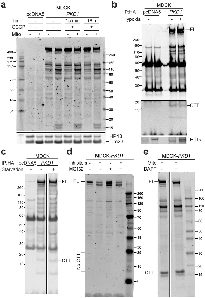 "PC1-CTT levels are not altered by cellular stress or inhibition of degradation pathways. ( a – c ) Immunoblot of MDCK cells with stable, inducible expression of PKD1 (eGFP-PKD1-HA) or pcDNA5. PC1-FL and PC1-CTT amounts are unchanged after ( a ) treatment with 1 μM CCCP for 15 min or 18 hours; ( b ) 2 h hypoxia (0.01% O 2 , 5% CO 2 ); or ( c ) 48 h serum starvation. The bottom panel in ""b"" confirms Hif1α induction in the total lysate of the corresponding samples. In panel ""b"", the same blot is shown at low signal intensity in the high molecular weight range, and at high signal intensity in the low molecular weight range, to optimize visualization of the relevant bands (original images are presented in Supplementary Fig. S6A ). The samples in panels ""c"" and ""e"" were run on the same gel for each experiment, with the middle, irrelevant lanes removed for clarity (see original images, Supplementary Fig. S6B and C ). ( d , e ) 24 h treatment with protease inhibitors ( d ) or γ-secretase inhibitor ( e ) had no effect on PC1-CTT detection."