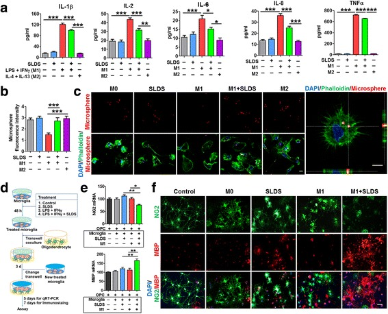 SLDS inhibits inflammatory cytokine secretion, increases phagocytosis in primary microglia, and promotes primary oligodendrocyte differentiation via M2 polarization. The M1 phenotype was induced using LPS plus IFN-γ, and the M2 phenotype was induced using IL-4 plus IL-13. Vehicle was added to non-treated microglia. a ELISA results indicated that SLDS inhibited the expression of IL-1β, IL-2, IL-6, IL-8, and TNFα in microglial-conditioned media; n = 9–12 per group. b Quantification of fluorescent microsphere intensity; n = 9 per group. c Representative images of microglial phagocytosis detected by fluorescent microspheres. Left scale bar, 10 μm; right scale bar, 5 μm. Phalloidin staining was used to visualize F-actin. d In vitro experiments using the transwell contact-independent system. Microglia seeded in inserts were incubated with vehicle or different SLDS treatment combinations for 48 h, after which the inserts were placed over oligodendrocyte cultures. After 3 days in culture, inserts were changed and fresh 48-h-treated microglia inserts were added. Oligodendrocytes were collected 5 or 7 days after the initial microglial insert addition. Vehicle was added to oligodendrocytes alone (control group) or oligodendrocyte-microglia cocultures (M0 group). e The expression of NG2 and MBP in the oligodendrocytes cocultured with microglia treated with various concentrations of SLDS (and controls). RT-PCR was performed to detect the expression of NG2 and MBP; n = 3 per group. f Representative NG2 (green) and MBP (red) staining in the different groups. Scale bar, 50 μm. DAPI (blue) was used as a nuclear marker. Data are expressed as mean ± SEM. * P