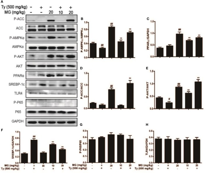 Effect of magnolol (MG) treatment on AMPK, peroxisome proliferator-activated receptor α (PPARα), AKT, and sterol regulatory element-binding protein 1c (SREBP-1c) in tyloxapol (Ty)-induced hyperlipidemia mice. Mice were administered MG (10 and 20 mg/kg) for 1 h. Afterward, the mice were injected with Ty (500 mg/kg) for 12 h. Liver tissues were gathered and analyzed by western blot. (A) Effects of MG on P-acetyl-CoA carboxylase (ACC), ACC, P-AMPKα, AMPKα, P-AKT, AKT, PPARα, SREBP-1c, P-P65, P65, and TLR4 were measured by western blot analysis. (B–H) Quantification of relative protein expression was performed by software analysis. All data are expressed as the mean ± SD of three independent experiments. Statistically significant at # p