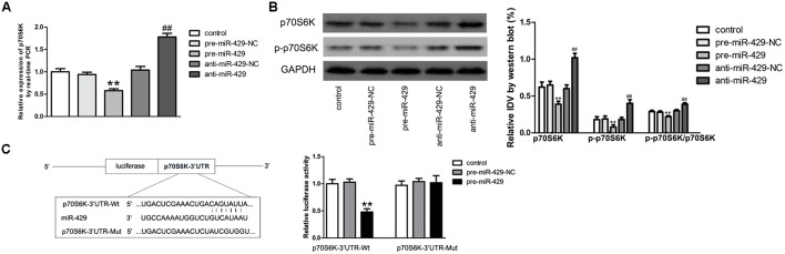 miR-429 regulating p70S6K. (A) The mRNA expressions of p70S6K of miR-429 overexpression and silencing were tested by qRT-PCR. All data represent mean ± SD ( n = 5, each). ∗∗ P