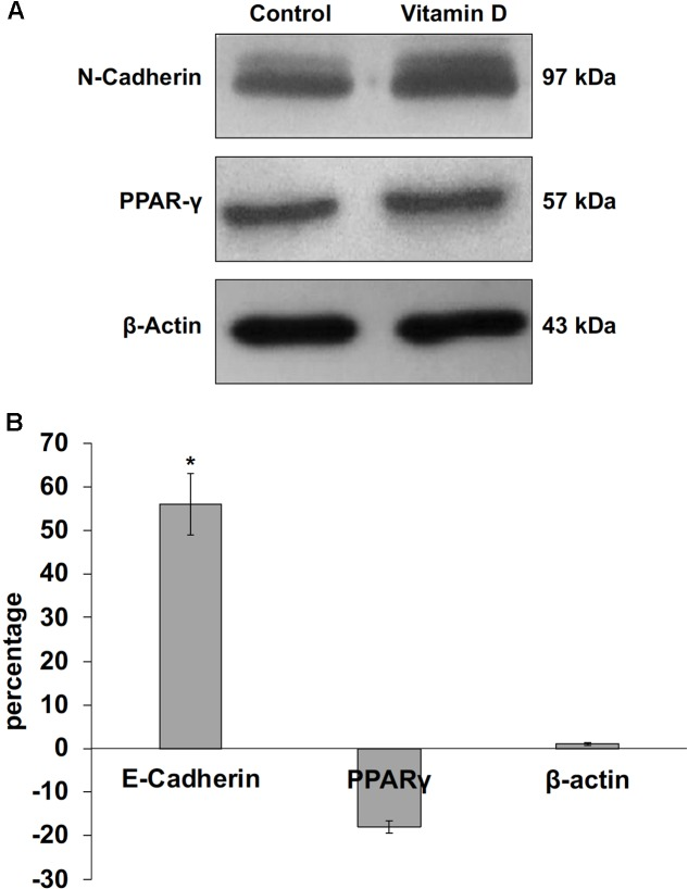 Immunoblotting analysis of N-cadherin, peroxisome proliferator-activated receptor gamma (PPARγ) and beta-actin in control and VD3-treated HN9.10e cells. (A) The position of the 97 kDa for N-cadherin, 57 kDa for PPARG and 43 kDa for beta-actin was evaluated in relation to the position of molecular size standards. (B) The area density was quantified by densitometry scanning and analysis with Scion Image. Data are expressed as percentage variation of VD3-treated HN9.10e cells compared with control HN9.10e cells and represent the mean ± SD of three independent experiments. ∗ P