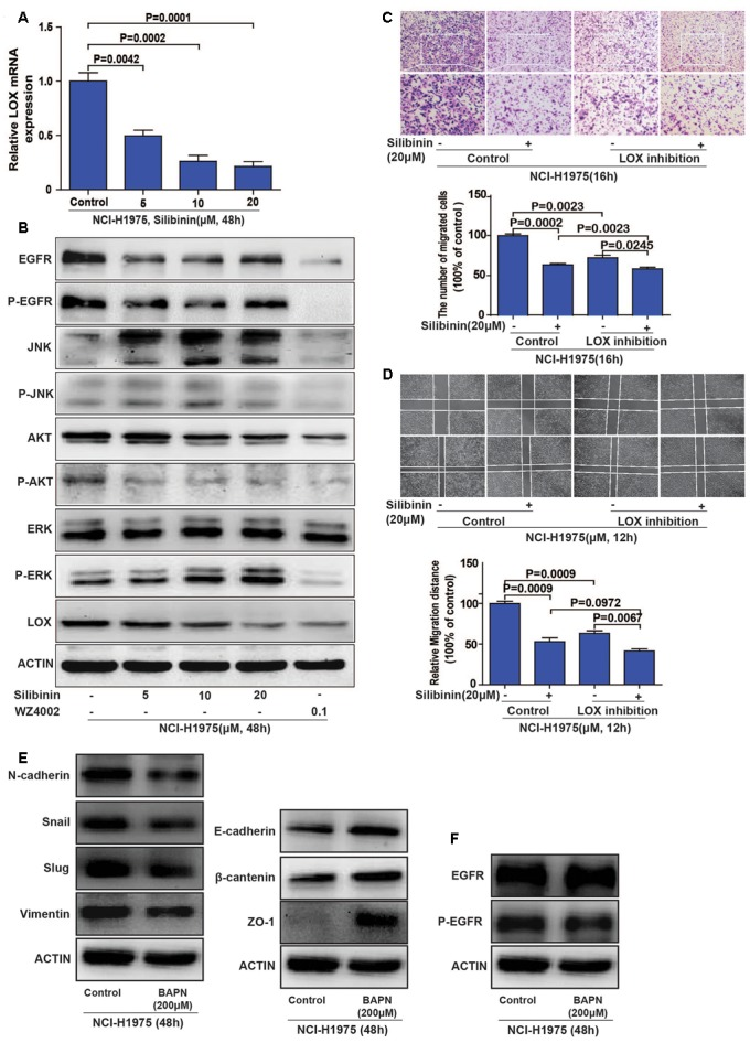Silibinin inhibits the migration of the NSCLC cell line NCI-H1975 through the EGFR/PI3K/LOX pathway in vitro . (A) LOX mRNA expression after exposed to silibinin in NCI-H1975. (B) EGFR, P-EGFR, P-AKT and LOX expression were inhibited after the NCI-H1975 cells were treated with silibinin. (C,D) Pretreating the NCI-H1975 cells with the LOX inhibitor (BAPN 200 μM) decreased the anti-metastasis effect of silibinin. (E) LOX inhibition inhibited epithelial-to-mesenchymal transition of NCI-H1975. (F) LOX inhibition decreased the phosphorylation of EGFR but not the total expression of EGFR. The data is represented as the mean ± SD of three independent experiments. The P -values