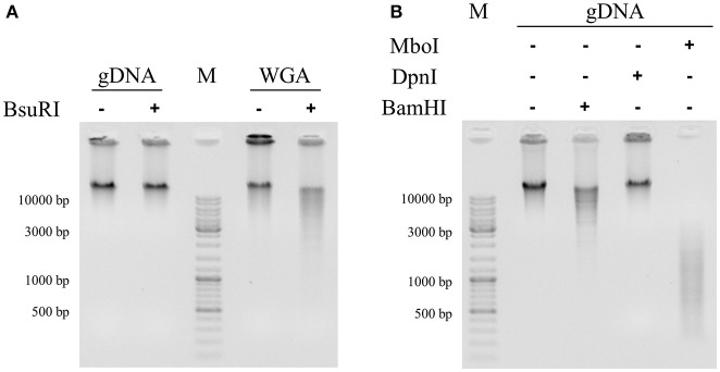 "Identification of methylated recognition sequences in S. acidocaldarius genomic DNA by digestion assays. Restriction enzymes BsuRI (A) and BamHI, DpnI, and MboI (B) were used to highlight the presence/absence of methylated 5′-GGCC-3′ and 5′-GATC-3′ palindromes, respectively, in genomic DNA of S. acidocaldarius . Two types of substrates were digested: genomic DNA (gDNA) and a whole genome amplification of the genomic DNA (WGA). WGA is identical to gDNA in terms of nucleic sequence but it does not contain epigenetic marks (see material and methods). This negative control is only used in (A) . The addition of different restriction enzymes is symbolized by a positive sign ""+"" while reaction mix without restriction enzyme is represented by a negative sign ""–"". Molecular size markers (GeneRuler DNA Ladder, Thermo Scientific) were loaded in both gels (M). Digestion patterns were obtained in 0.8% agarose gel stained with ethidium bromide and visualized under UV light."